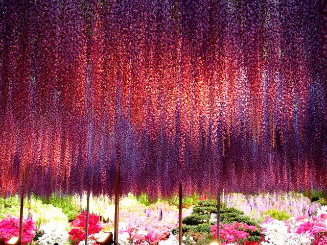 足利花卉公园看紫藤_图1-33
