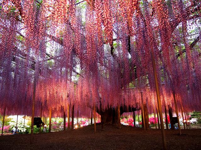 足利花卉公园看紫藤_图1-34