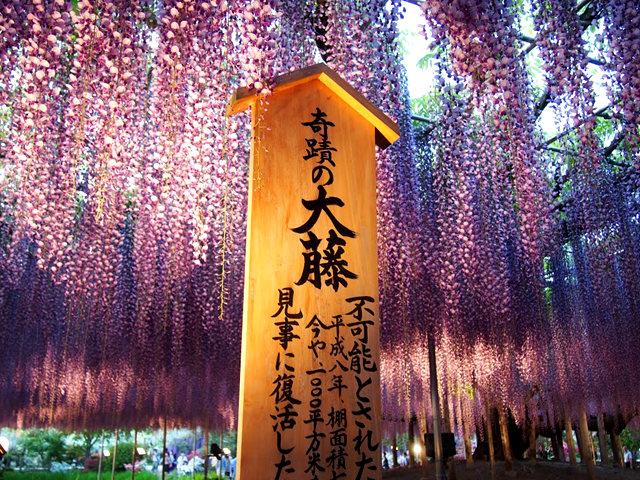 足利花卉公园看紫藤_图1-35