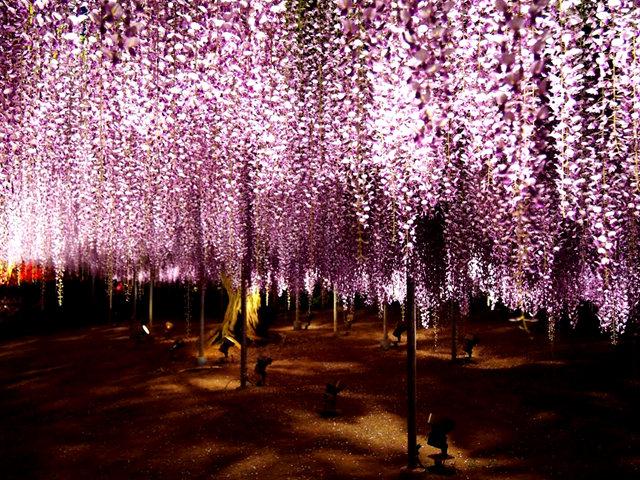 足利花卉公园看紫藤_图1-38