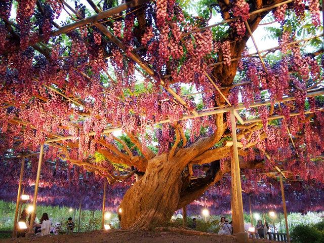 足利花卉公园看紫藤_图1-39