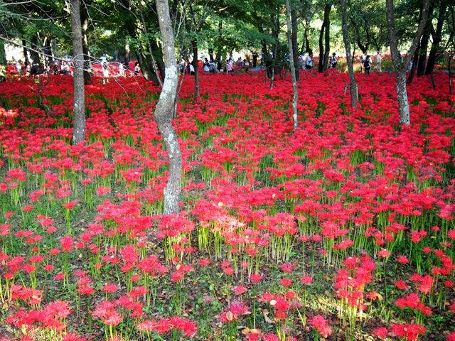 巾着田.曼珠沙华公园拍石蒜_图1-22