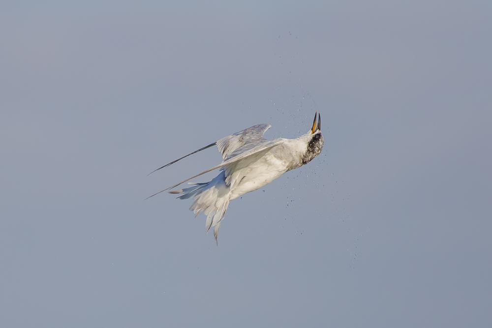 燕鸥的特技得到传承了!_图1-18