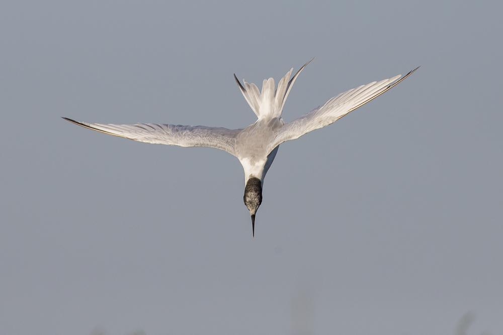 燕鸥的特技得到传承了!_图1-2