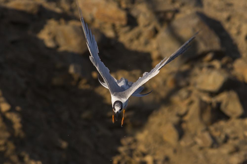 燕鸥的特技得到传承了!_图1-3
