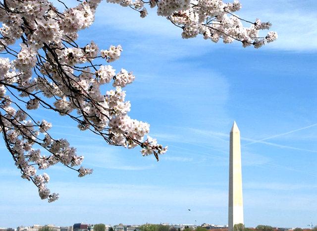 回顾去年华盛顿DC拍樱花_图1-1