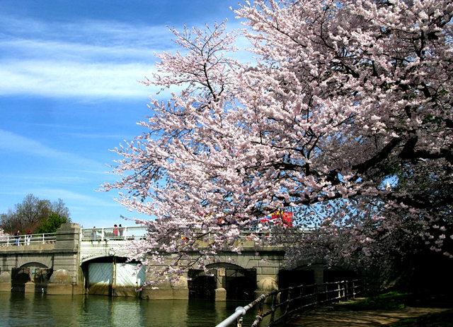 回顾去年华盛顿DC拍樱花_图1-4