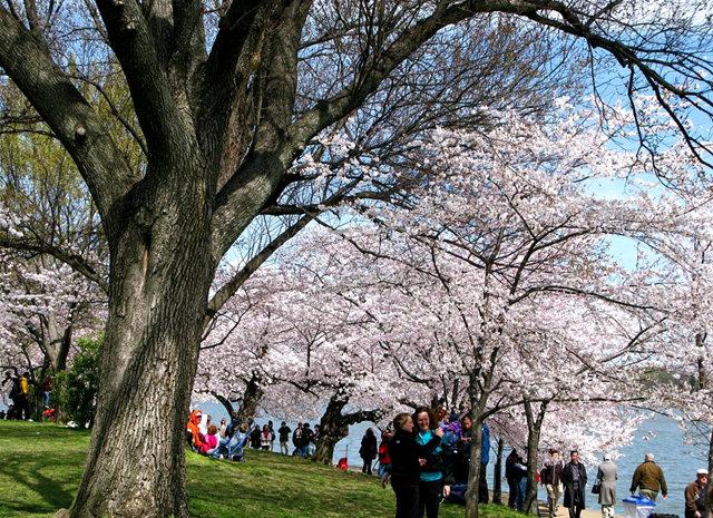 回顾去年华盛顿DC拍樱花_图1-5