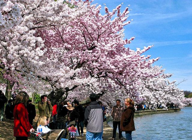 回顾去年华盛顿DC拍樱花_图1-6