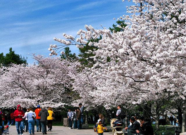 回顾去年华盛顿DC拍樱花_图1-8