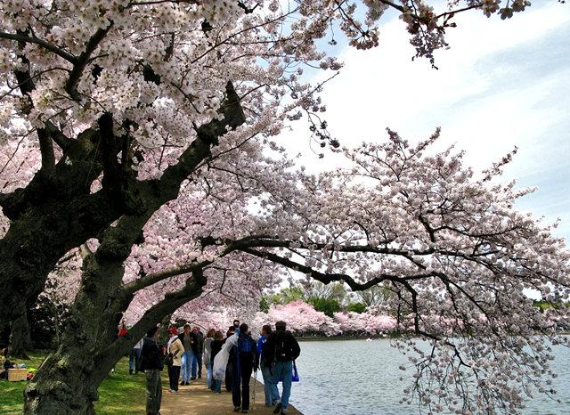 回顾去年华盛顿DC拍樱花_图1-9