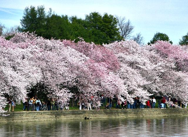 回顾去年华盛顿DC拍樱花_图1-11