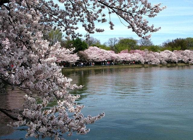 回顾去年华盛顿DC拍樱花_图1-12