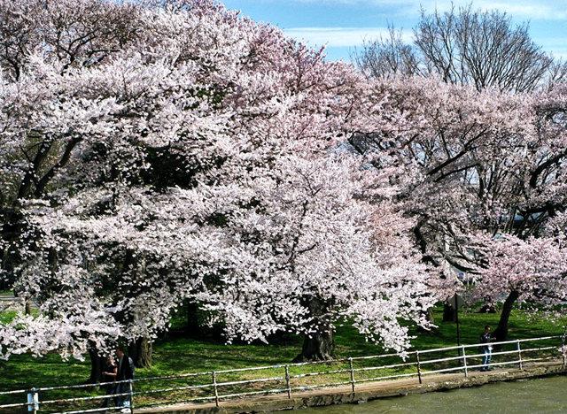 回顾去年华盛顿DC拍樱花_图1-13