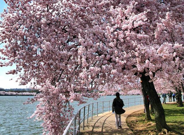 回顾去年华盛顿DC拍樱花_图1-17