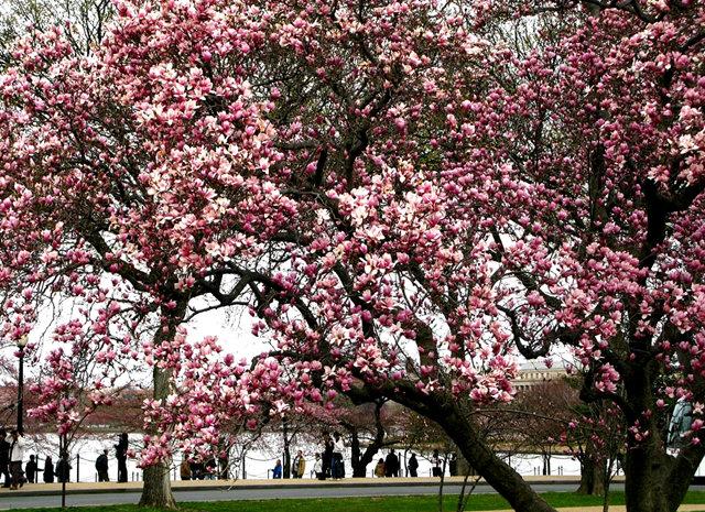 回顾去年华盛顿DC拍樱花_图1-18
