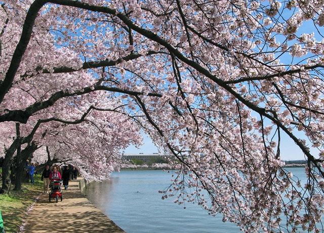 回顾去年华盛顿DC拍樱花_图1-19