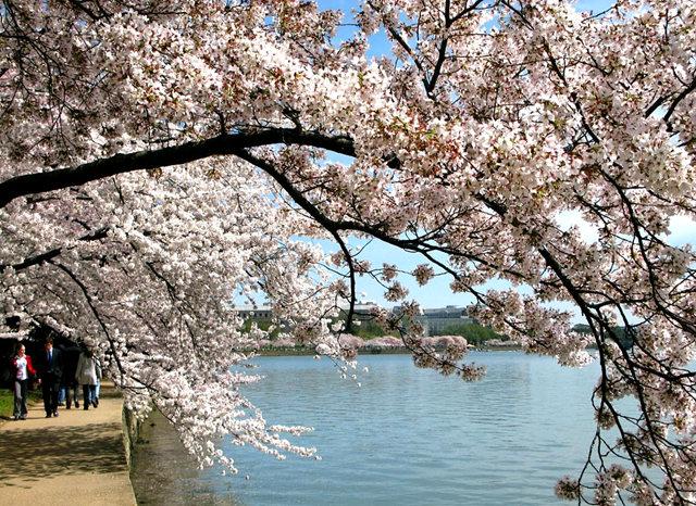 回顾去年华盛顿DC拍樱花_图1-20
