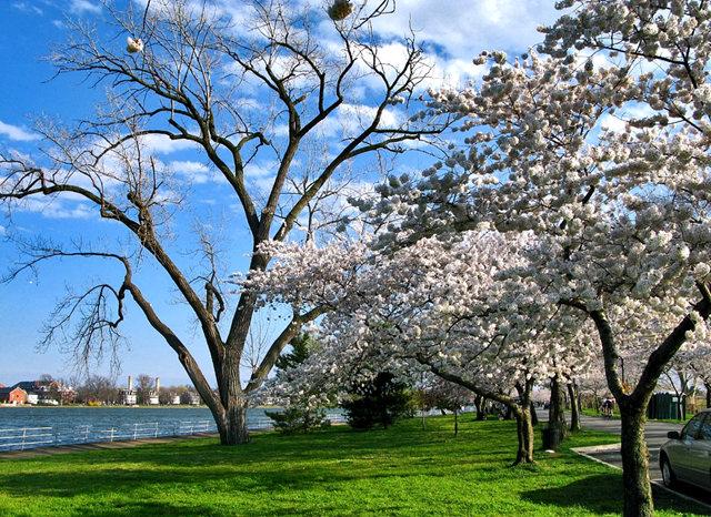 回顾去年华盛顿DC拍樱花_图1-21