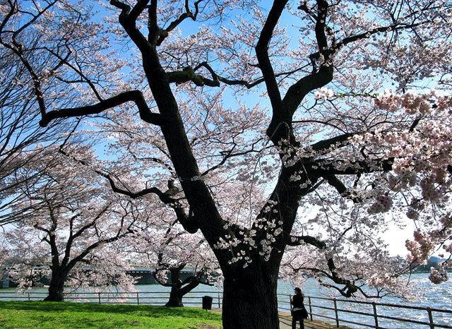 回顾去年华盛顿DC拍樱花_图1-22