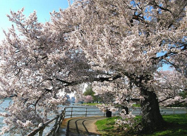 回顾去年华盛顿DC拍樱花_图1-24