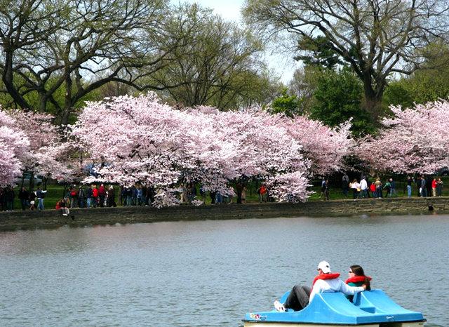 回顾去年华盛顿DC拍樱花_图1-26