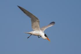 大部份燕鸥已陆续迁离,只有它们毅然留了下