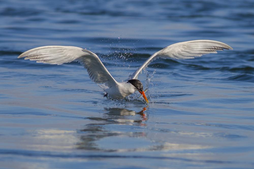大部份燕鸥已陆续迁离,只有它们毅然留了下来!_图1-3