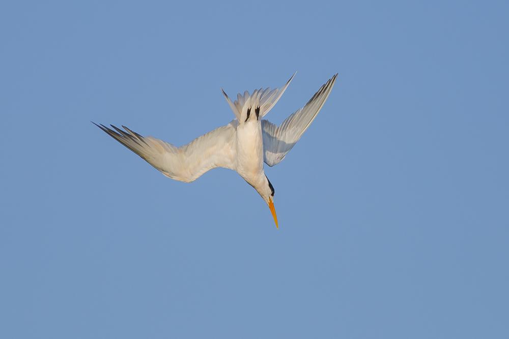 大部份燕鸥已陆续迁离,只有它们毅然留了下来!_图1-6