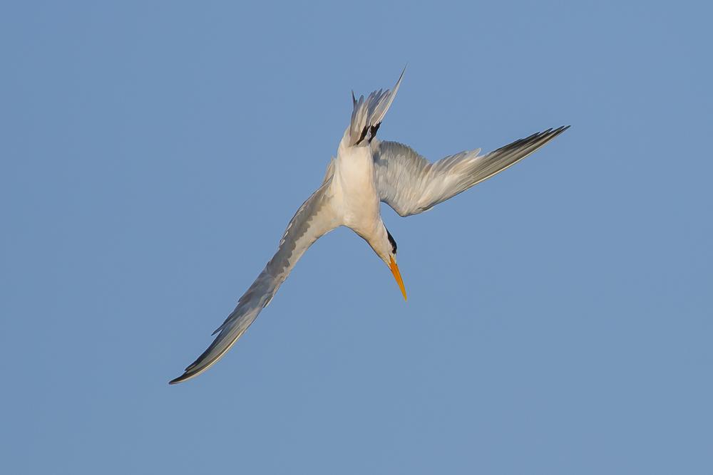 大部份燕鸥已陆续迁离,只有它们毅然留了下来!_图1-7