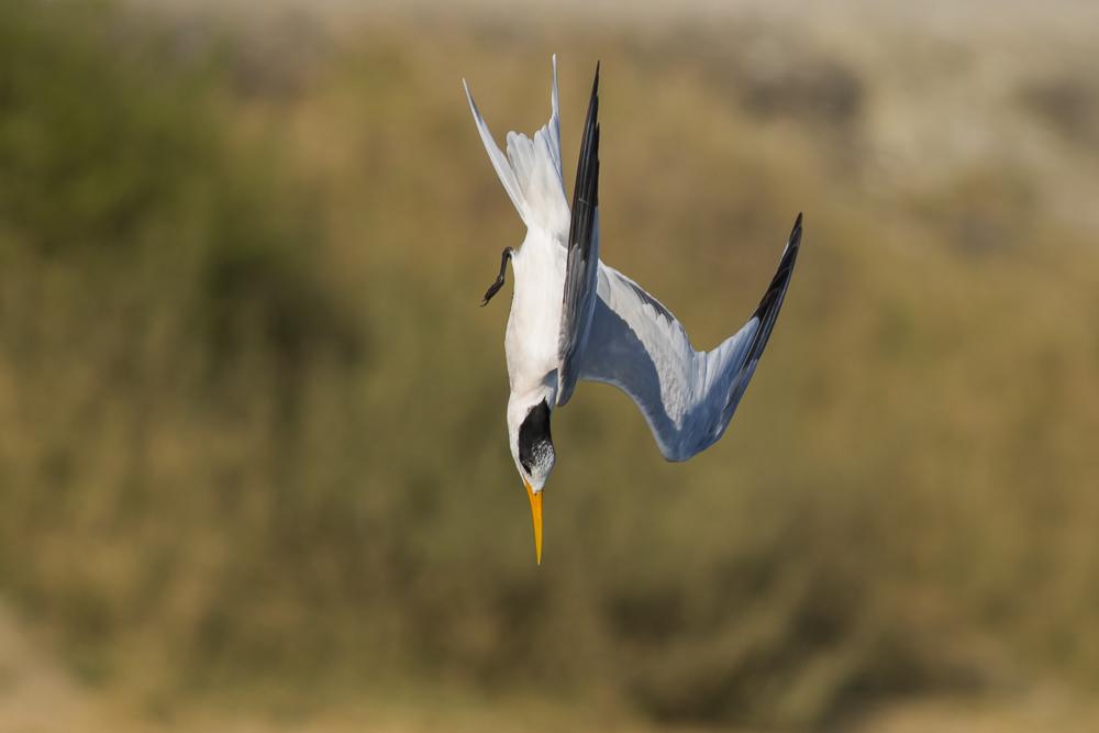 大部份燕鸥已陆续迁离,只有它们毅然留了下来!_图1-8