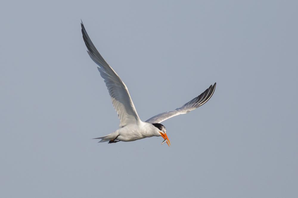 大部份燕鸥已陆续迁离,只有它们毅然留了下来!_图1-4