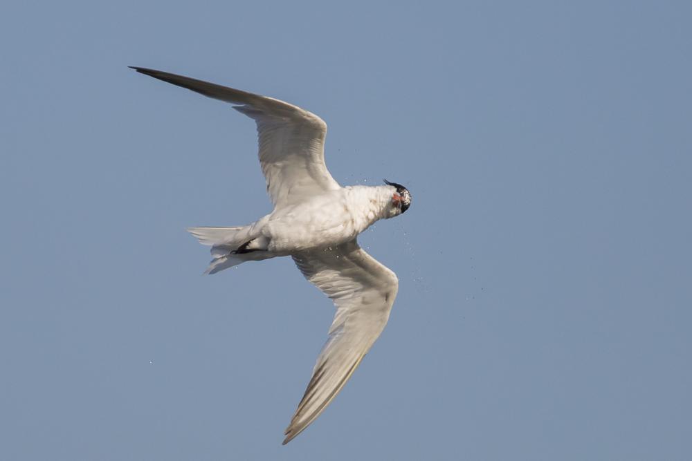 大部份燕鸥已陆续迁离,只有它们毅然留了下来!_图1-11
