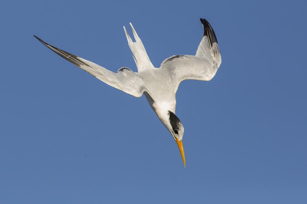 大部份燕鸥已陆续迁离,只有它们毅然留了下来!_图1-12