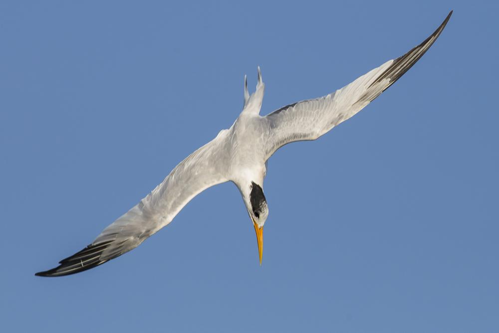 大部份燕鸥已陆续迁离,只有它们毅然留了下来!_图1-13