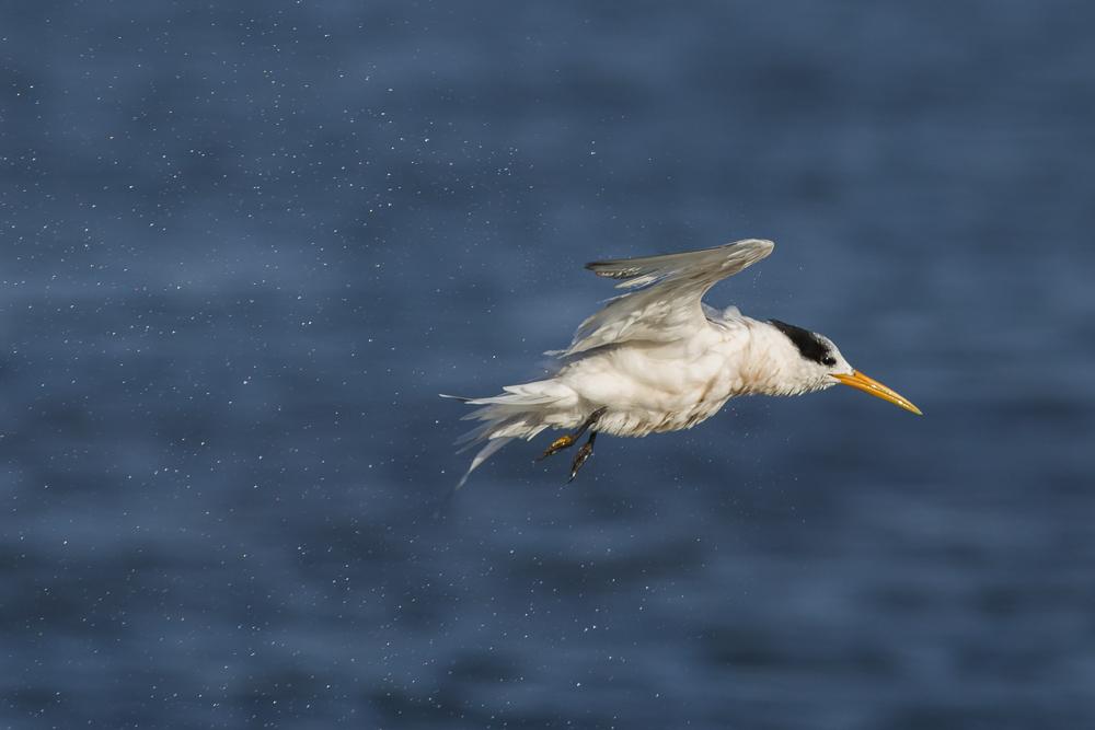 大部份燕鸥已陆续迁离,只有它们毅然留了下来!_图1-16