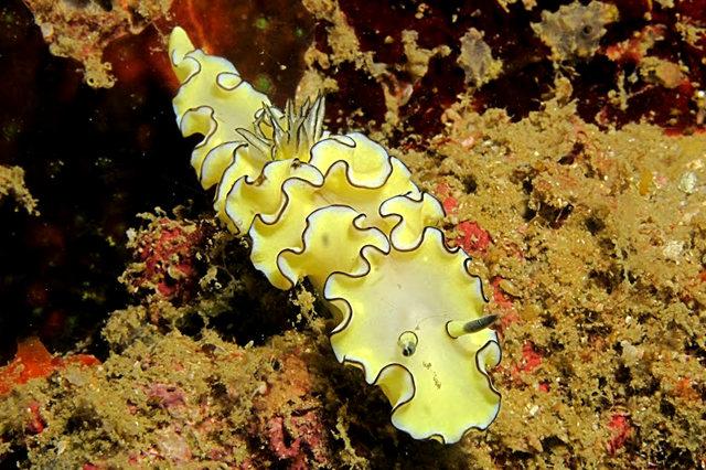 昆士兰大堡礁海底行......抓拍海蛞蝓_图1-6
