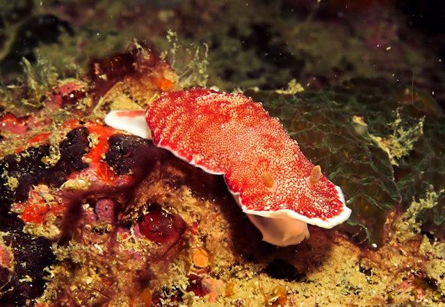 昆士兰大堡礁海底行......抓拍海蛞蝓_图1-7