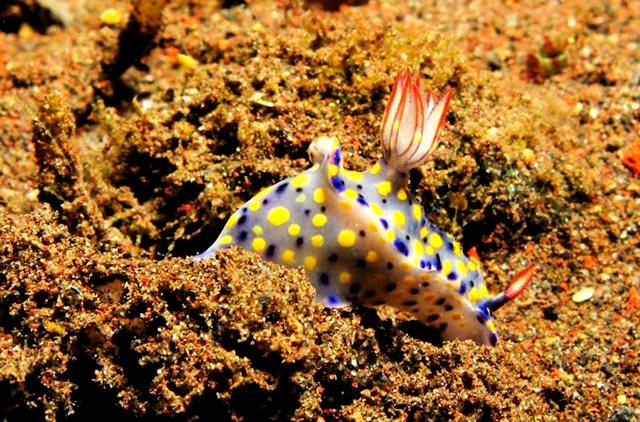 昆士兰大堡礁海底行......抓拍海蛞蝓_图1-14