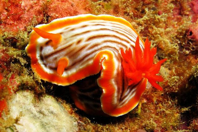 昆士兰大堡礁海底行......抓拍海蛞蝓_图1-17