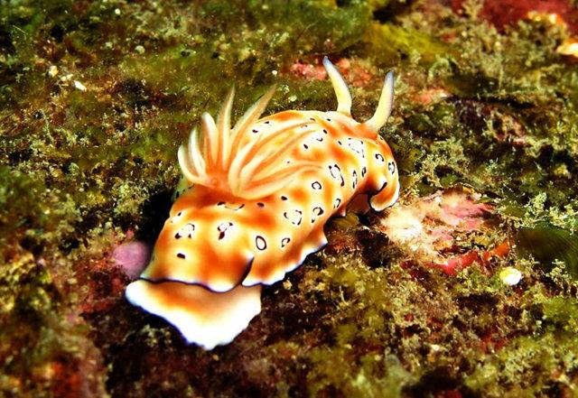 昆士兰大堡礁海底行......抓拍海蛞蝓_图1-18