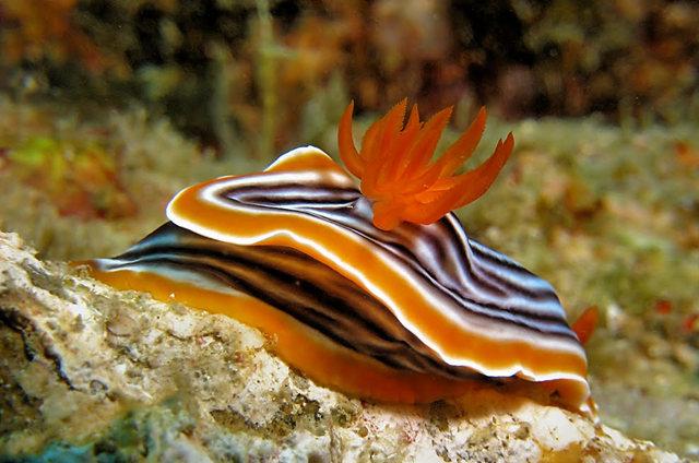 昆士兰大堡礁海底行......抓拍海蛞蝓_图1-21