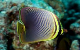 澳洲蝴蝶鱼