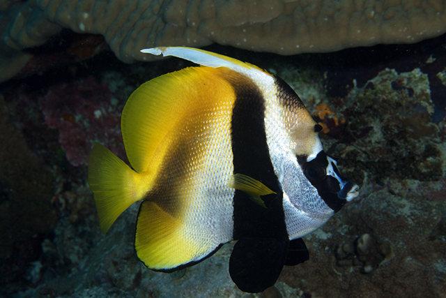 澳洲蝴蝶鱼_图1-22