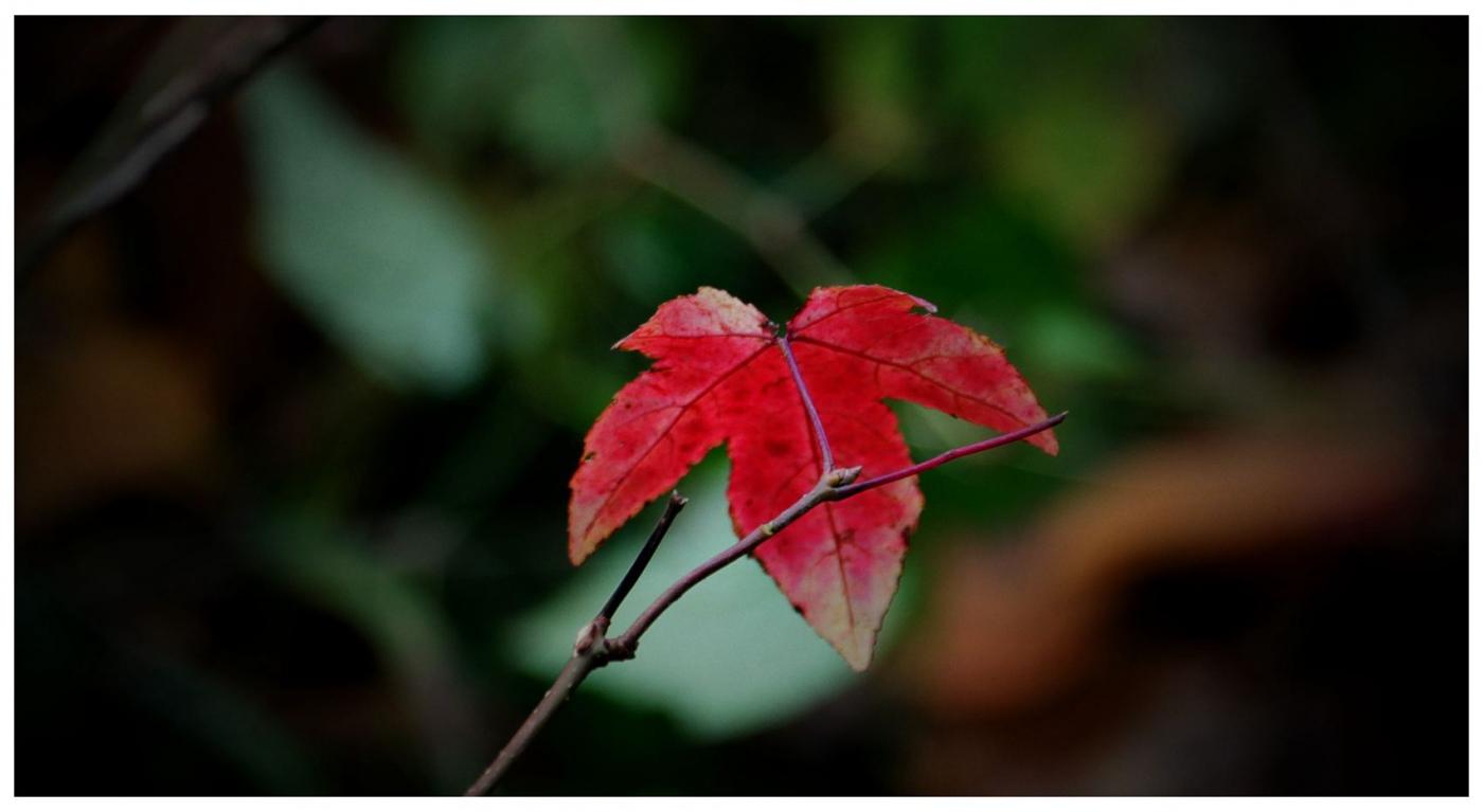 风光] 叶到红时勘比花—实拍美