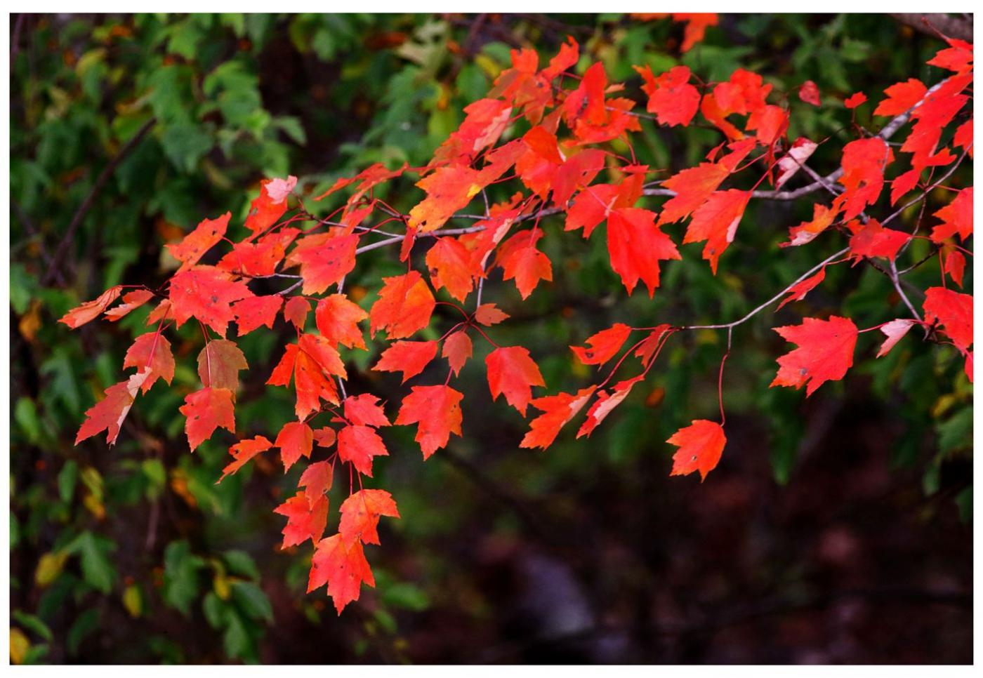 风光] 叶到红时勘比花—实拍美国东部深秋红叶_图1-10