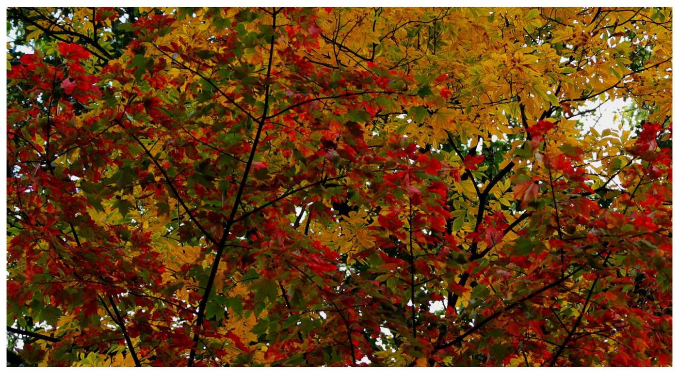 风光] 叶到红时勘比花—实拍美国东部深秋红叶_图1-22
