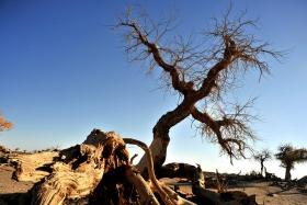 额济纳行摄---怪树林(千年不朽)