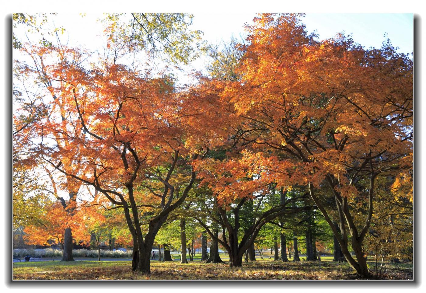 今年初冬凯辛娜公园枫景_图1-11