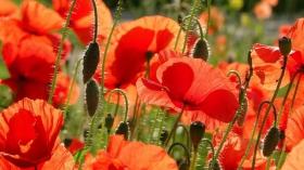 达尼丁城拍罂粟花